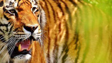 Photo of Hyderabad tigress Anushka kills youth in Ranchi zoo