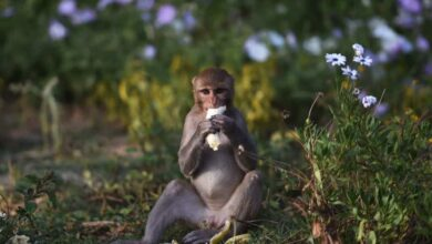 Photo of Telangana govt to set up 46 monkey food courts in the state