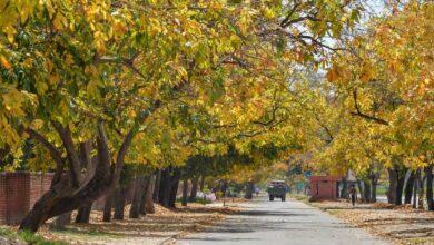 Photo of Amaltas trees in Chandigarh