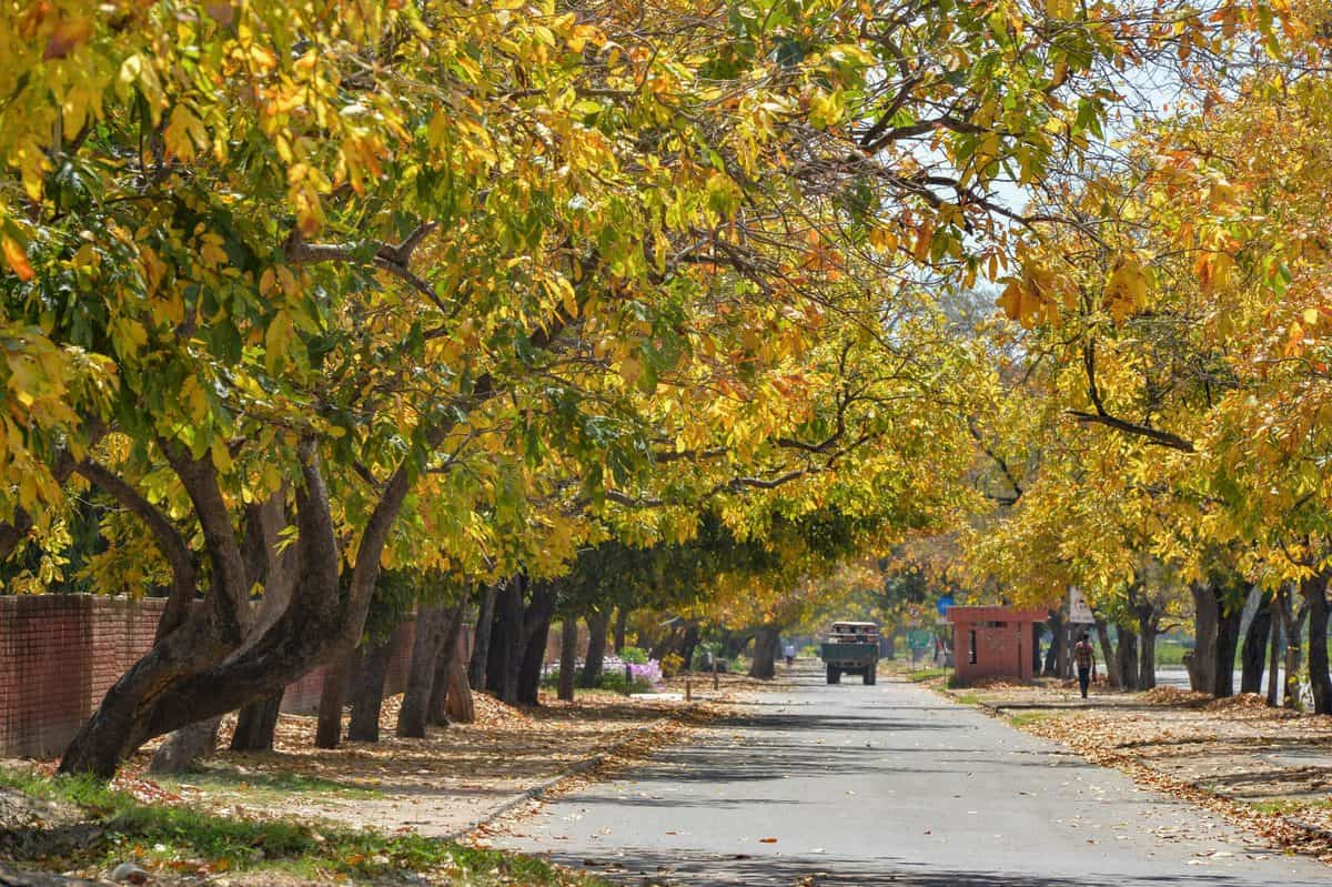 Amaltas trees in Chandigarh