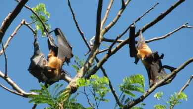 Photo of 4 new bat species related to ones linked to COVID-19 discovered