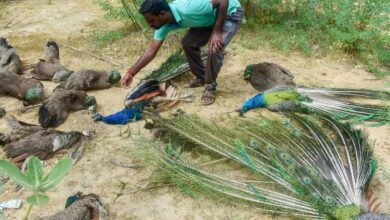 Photo of Fact check: Scores of peacocks poisoned in Sri Lanka