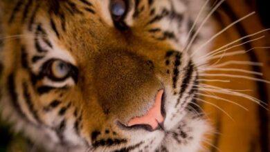 Photo of Tiger tests positive for coronavirus