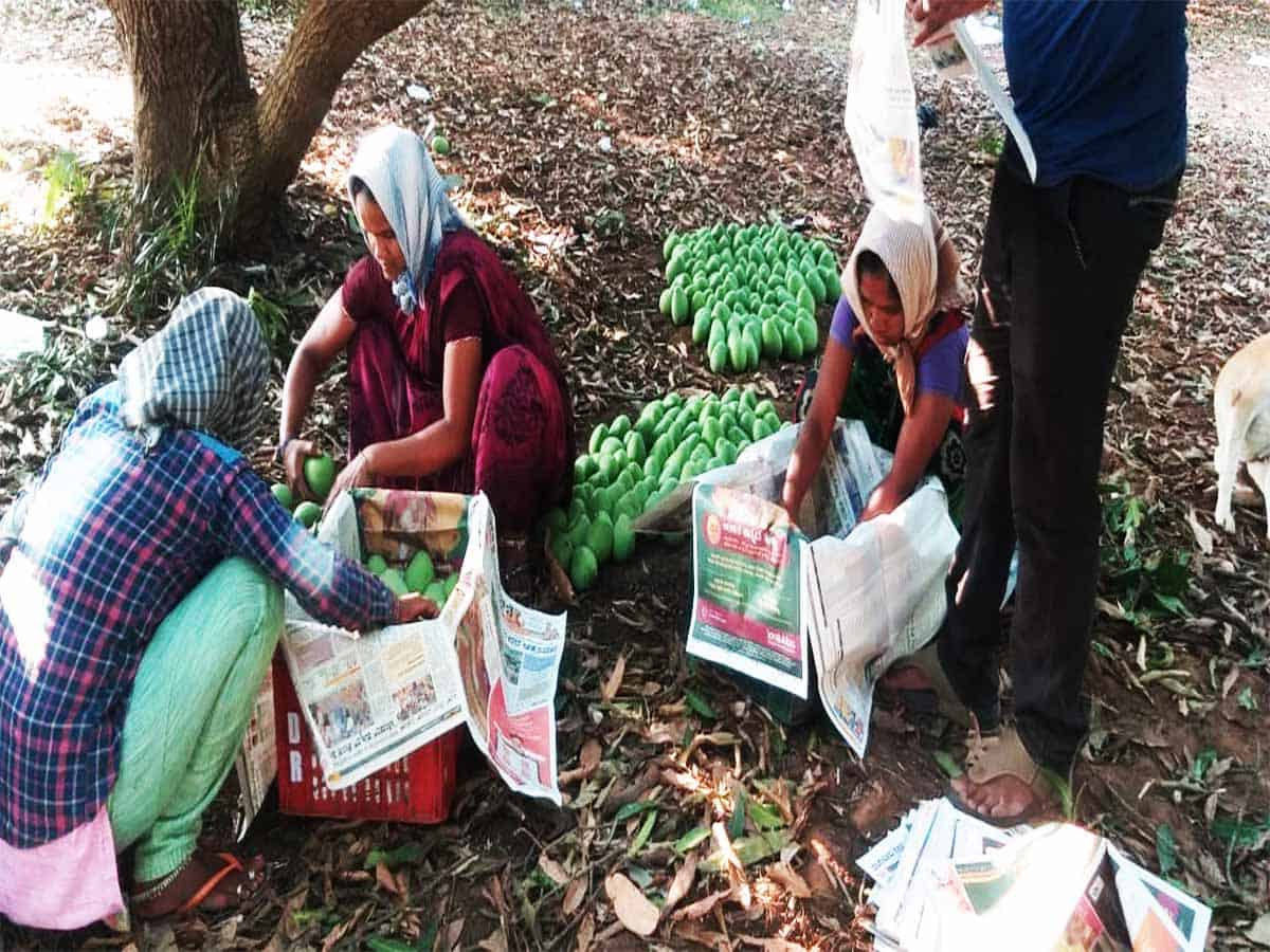 Mangoes bring sweetness to farmers lives in AP amidst COVID-19