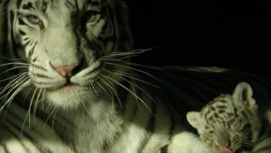 Photo of Nehru Zoological Park sees birth of big cats during lockdown