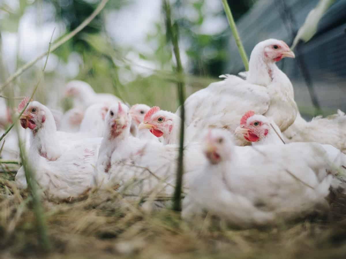 chicken prices in hyderabad
