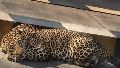 Photo of Take it easy—leopard might have moved back into forest
