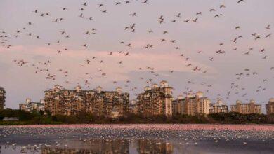 Photo of Flamingoes at Talawe wetland in Mumbai