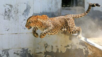 Photo of Leopard enters residential area in Nashik, attacks two