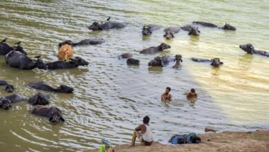 Photo of Hyderabad: 177 cattle die due to floods in Musi River