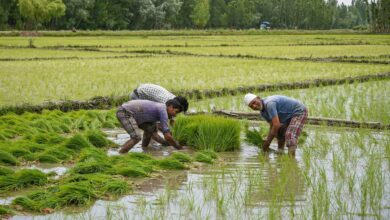 Photo of Photos: Paddy season in Srinagar