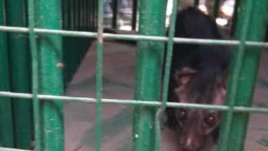Photo of Civet Cat rescued from Golconda; shifted to Zoo