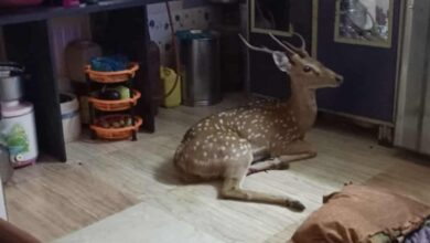 Photo of Chased by leopard, deer crashes through roof in Mumbai slum