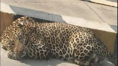 Photo of Poacher arrested in Odisha, leopard skins seized