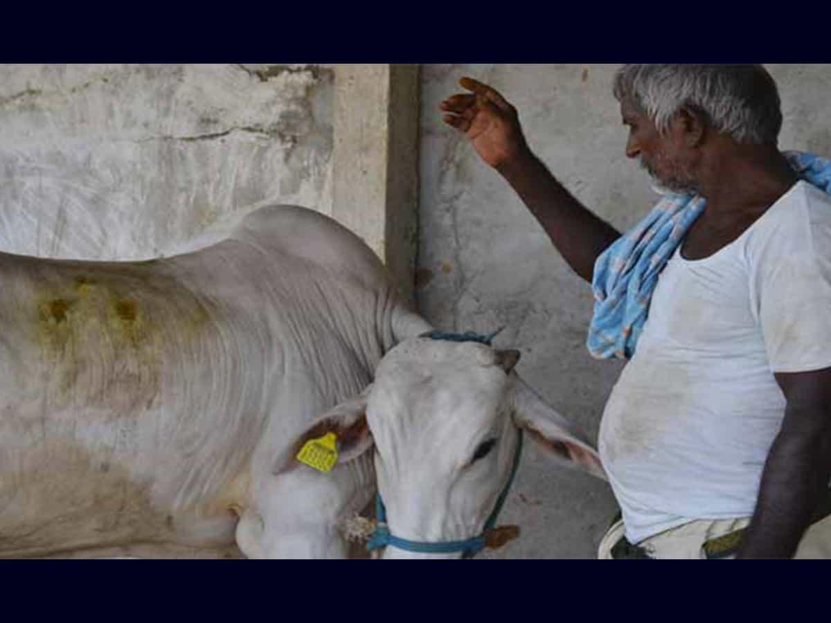 New virus hit cattle hard across Telangana