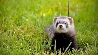 Photo of Mink are latest animals to contract COVID-19