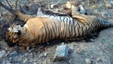 Photo of Tiger carcass found in Pilibhit Reserve