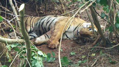 Photo of Karnataka's domestic cattle devouring injured tiger captured