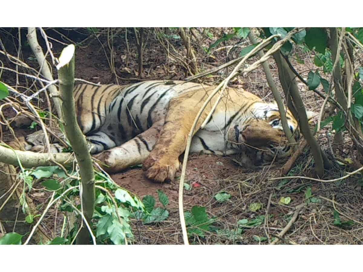 Karnataka's domestic cattle devouring injured tiger captured