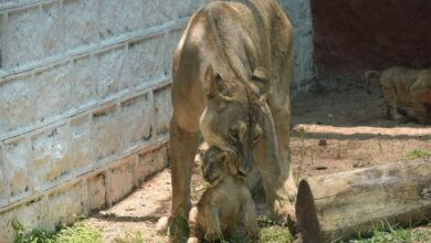 Photo of African lion cubs make first appearance at Hyderabad Zoo