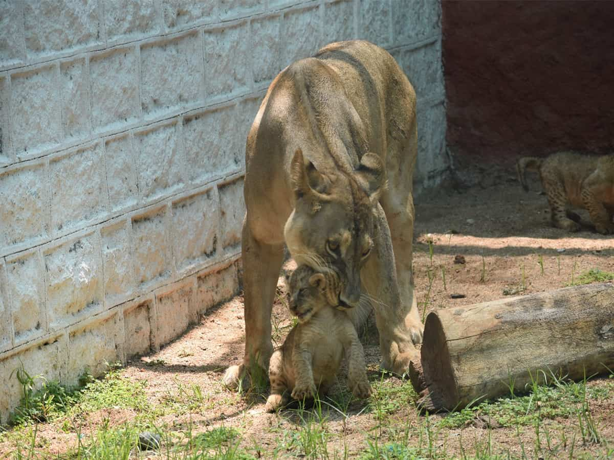 African lion cubs make first appearance at Hyderabad Zoo