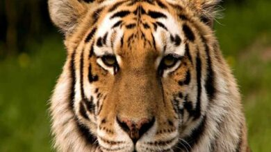 Photo of Telangana: Tiger spotted on Bellampally outskirts