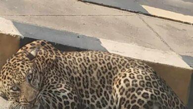 Photo of Hyderabad: Elusive leopard spotted at Himayath Sagar