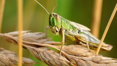 Photo of All about locusts as India faces worst attack in 26 yrs
