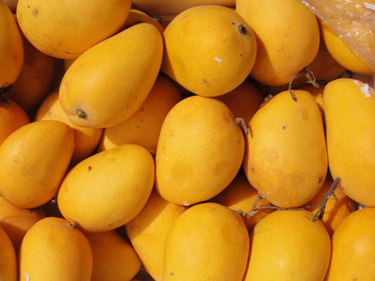 Mango---King of fruits---loved by kings and commoners