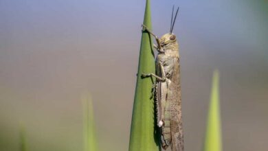 Photo of Desert locust from Africa could move to India, Pak next month