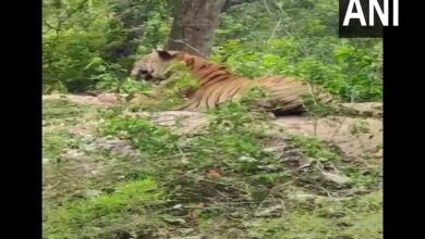 Photo of After leopard in Hyderabad, tiger spotted in Karnataka