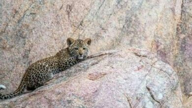 Photo of Leopard cub rescued from trap in UP village
