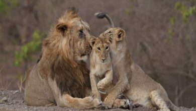 Photo of Gujarat's Gir forest witnesses steep rise in Asiatic Lion