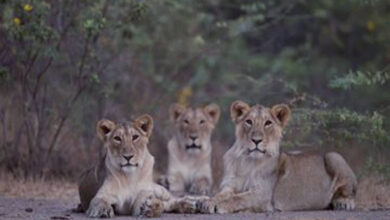 Photo of 5 lions on the loose in Karachi after escaping farmhouse