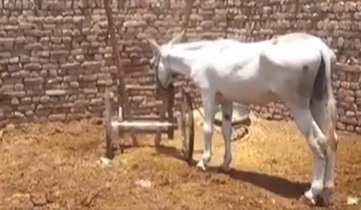 Donkey arrested