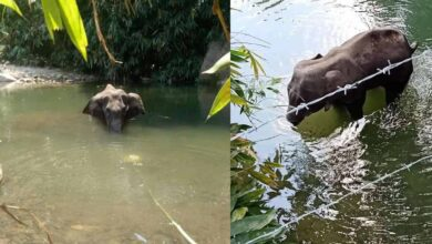 Photo of Pregnant elephant dies after eating cracker stuffed pineapple