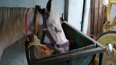 Corona spells trouble for caretakers of wedding horses