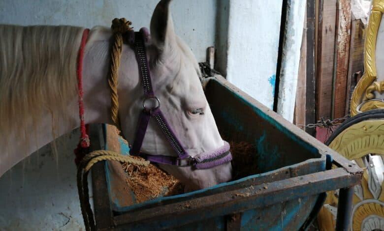 Corona spells trouble for caretakers of wedding horses