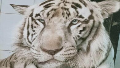 Photo of Ailment claims life of White Tiger at Nehru Zoological Park