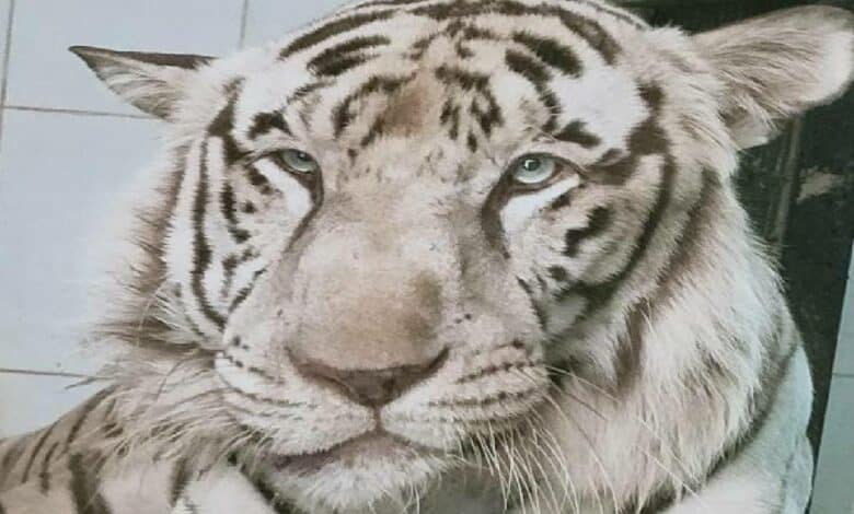 Ailment claims life of White Tiger at Nehru Zoological Park