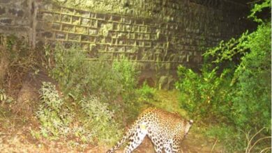 Photo of Hyderabad: Elusive leopard spotted near National police academy