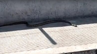 Photo of Hyderabad: Cobra spotted on road triggers panic