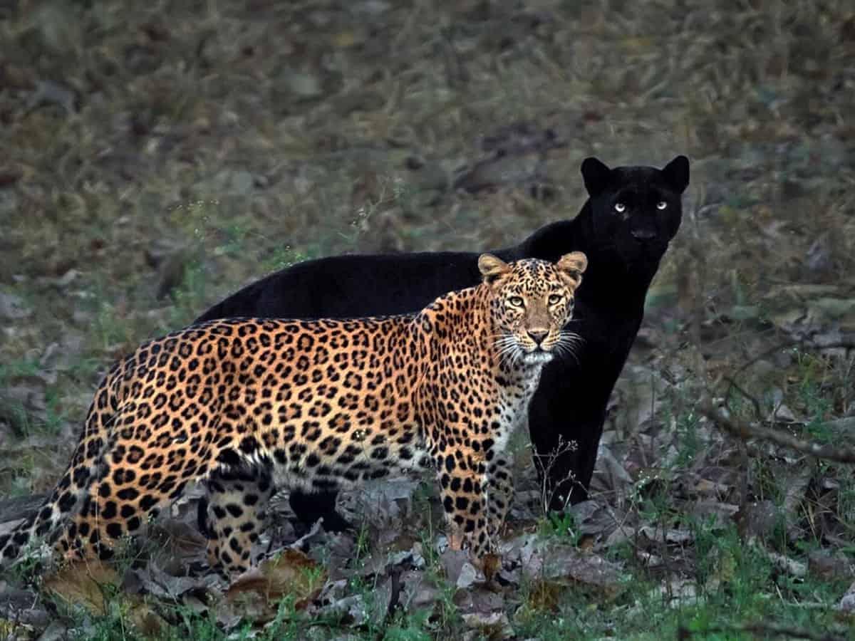 Black panther, leopardess on one frame after long wait: Mithun Hunugund
