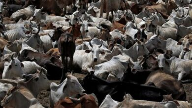 Photo of 43 cows locked in room die of suffocation in Chandigarh