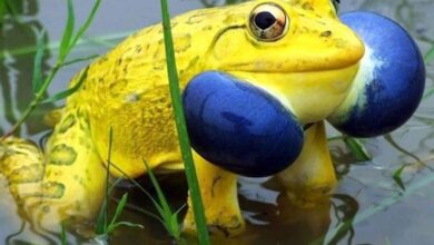 Photo of Video of Yellow Frogs in MP pond doing the rounds on Twitter