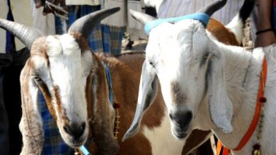 Photo of Goat 'arrested' for not wearing mask in UP