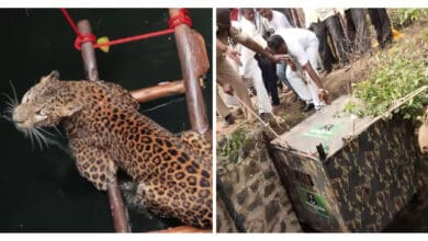 Photo of Trapped in a well, leopard rescued after 6 days in K'taka