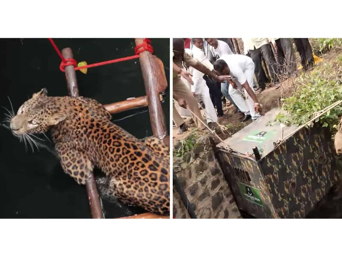 Trapped in a well, leopard rescued after 6 days in K'taka