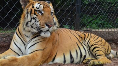 Photo of Royal Bengal tiger dies in Hyderabad Zoo