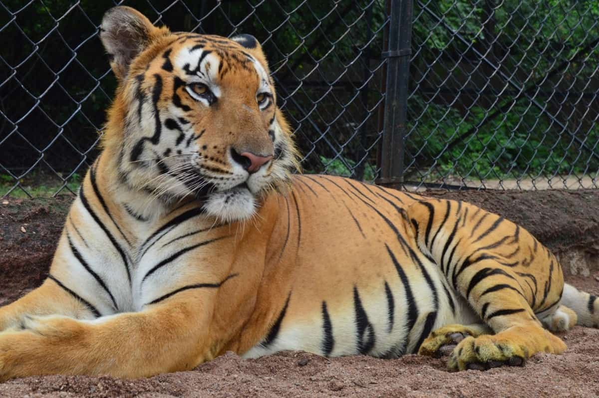 Royal Bengal tiger dies in Hyderabad Zoo